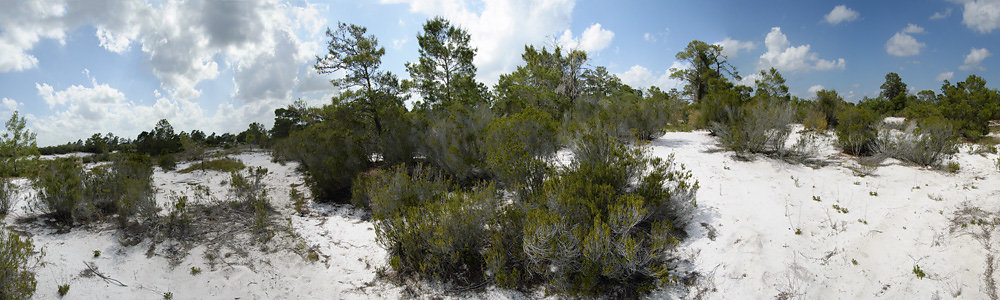 Panorama of Rosemary Scrub