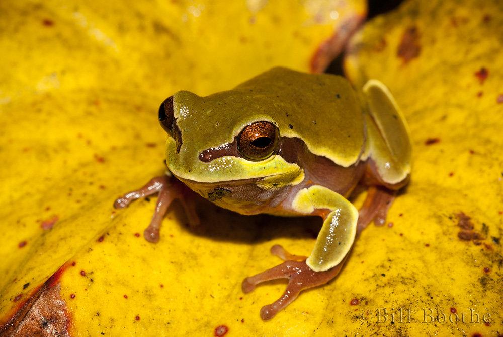 Pine Barrens Treefrog