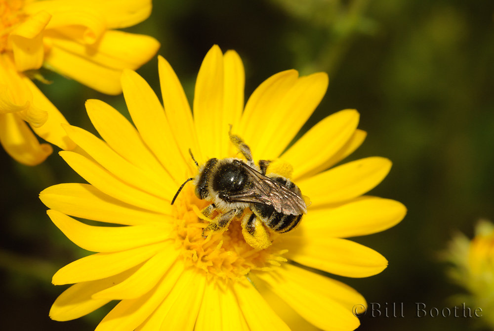 Halistid Bee