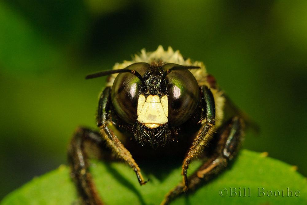 Male Eastern Carpenter Bee