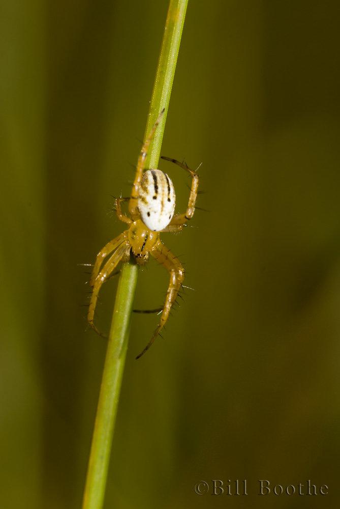 Lined Orb Weaver Spider