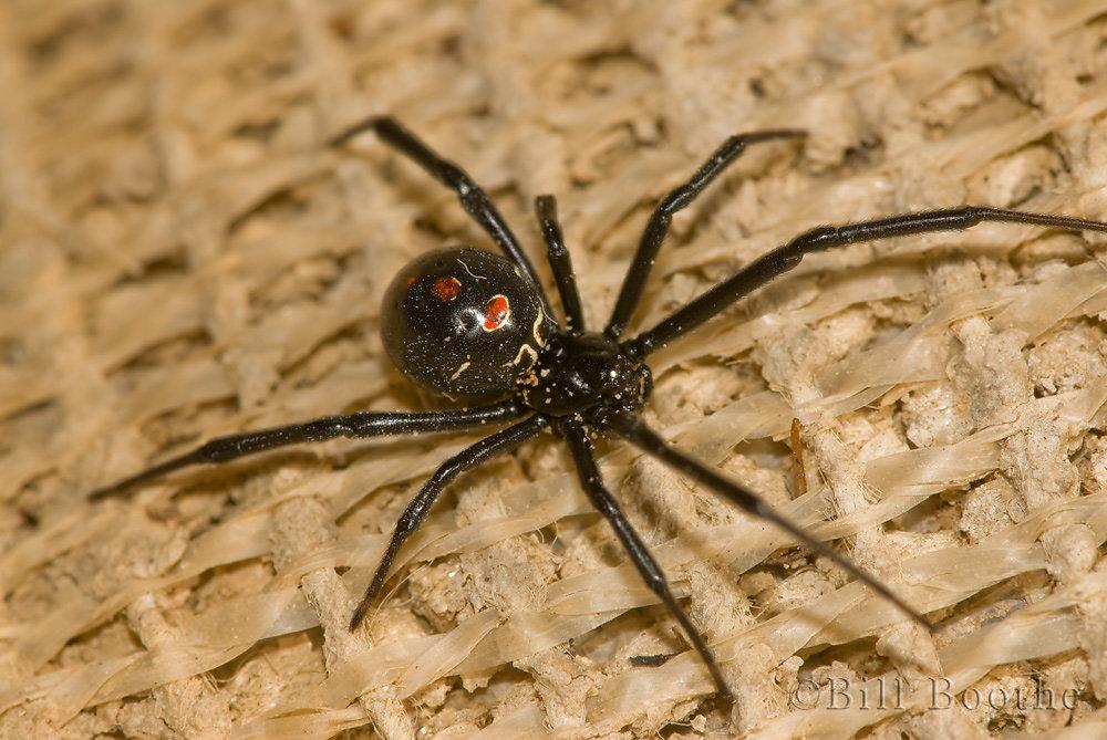 Female Southern Black Widow Spider