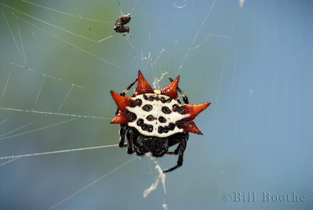 Spinybacked Spider