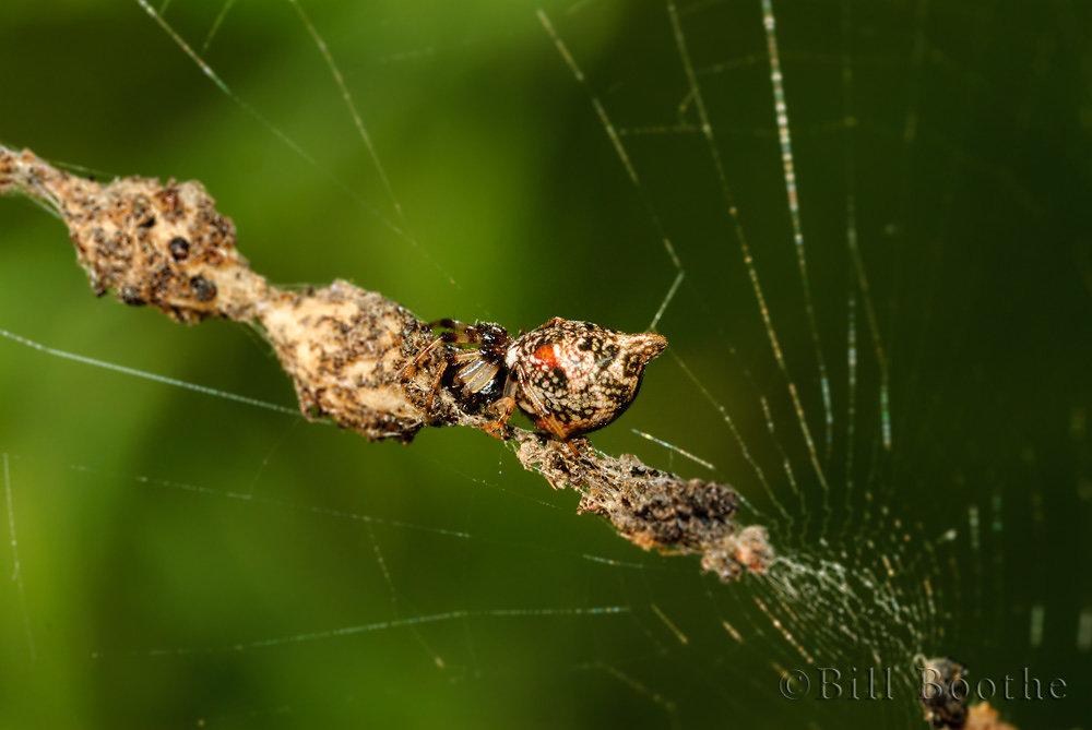 Humped Trashline Orb Weaver Spider