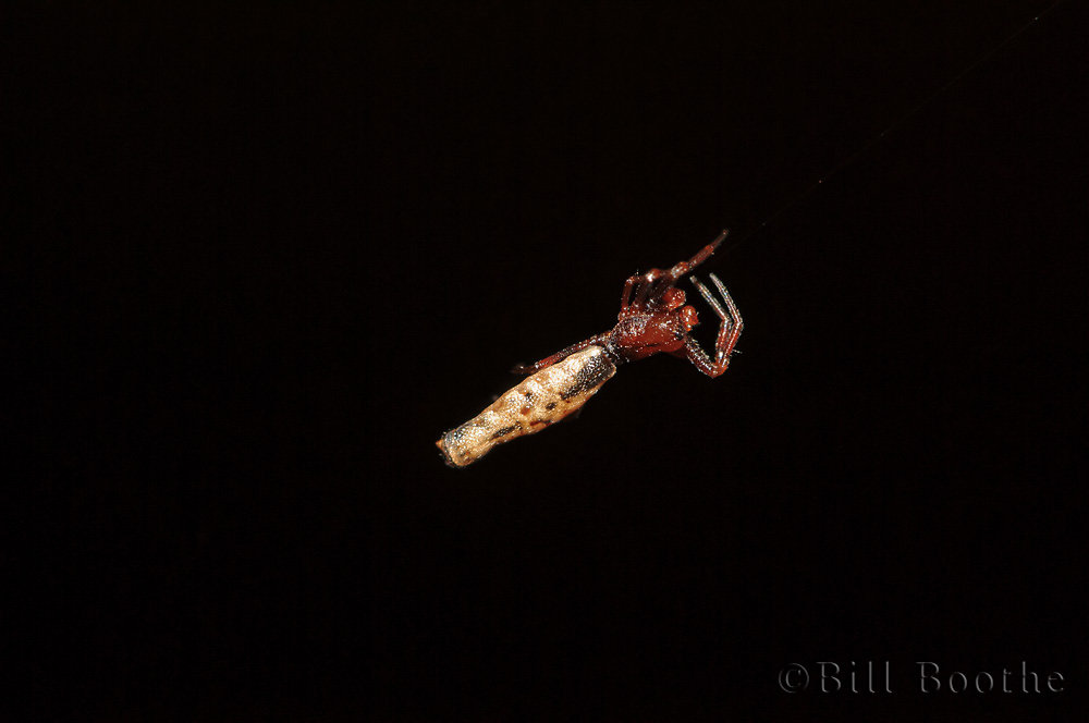 Male Spined Micrathena