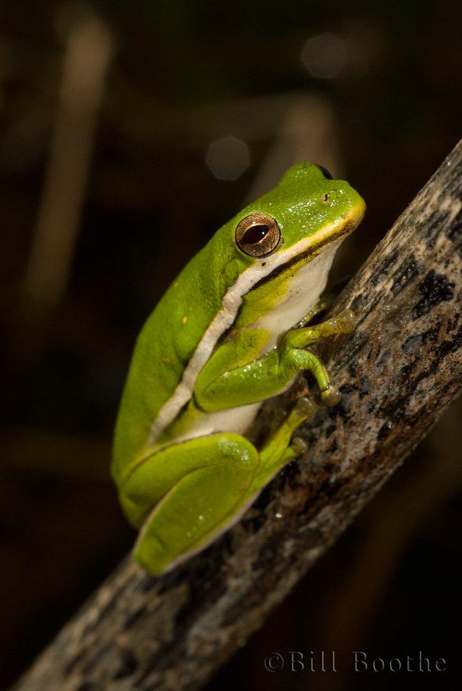 Green Treefrog