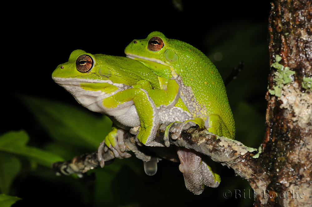 Mating Barking Treefrogs