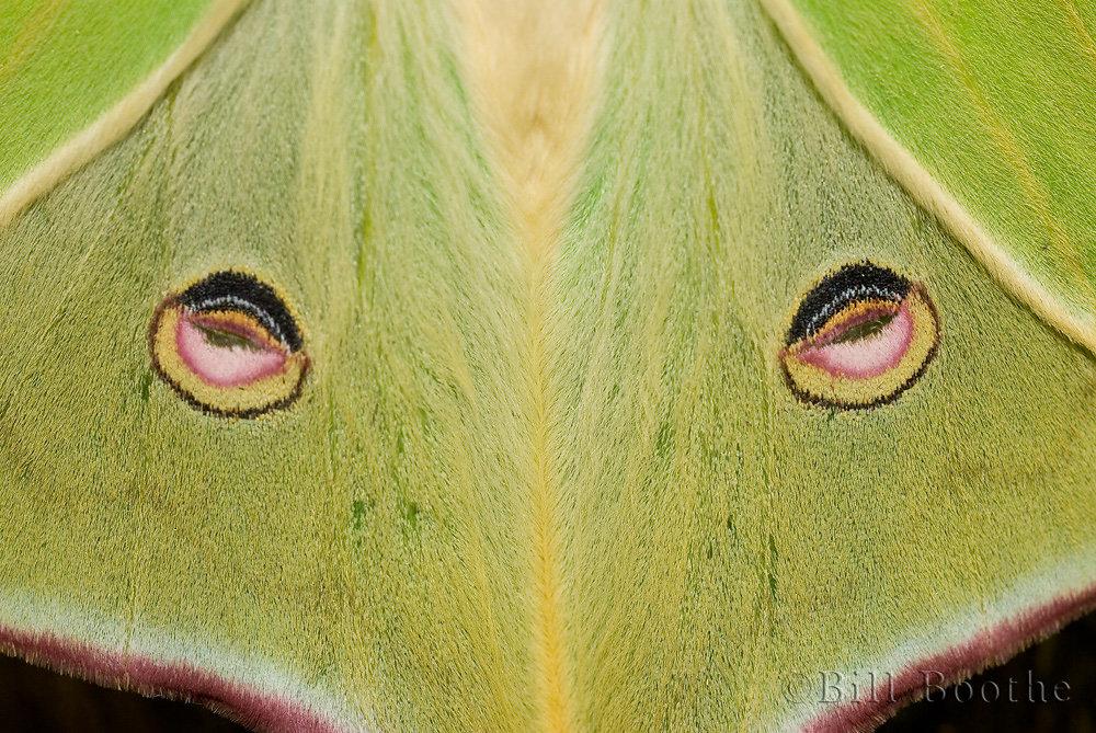 Luna Moth Eyes