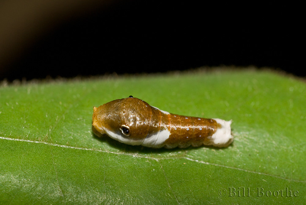 Palamedes Swallowtail Caterpillar