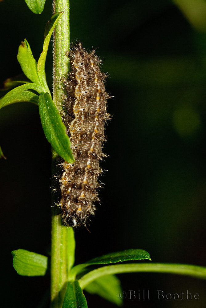 Pearl Crescent Caterpillar