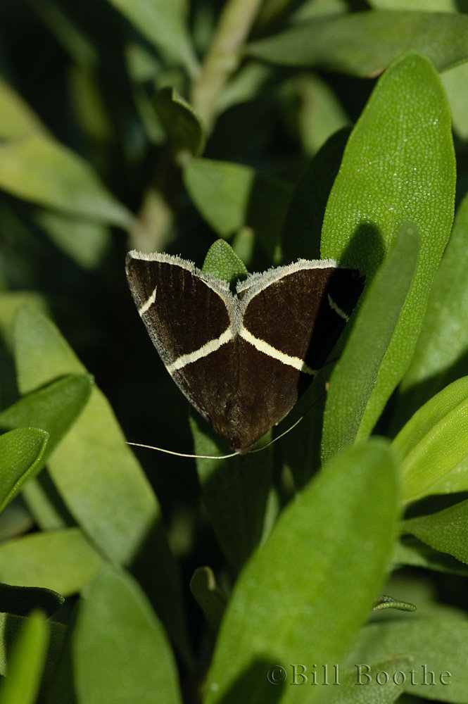 Short-lined Chocolate Moth
